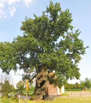 quercia-di-Fossalta-di-Portogruaro-II