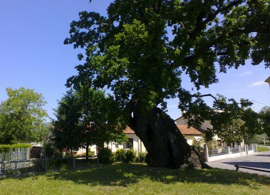 quercia-di-Fossalta-di-Portogruaro-VI