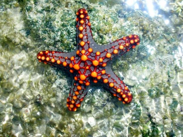 La misteriosa epidemia che trasforma le stelle di mare in ...
