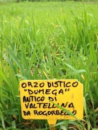 raetia-cereali-orzo-distico-dumega-valtellina