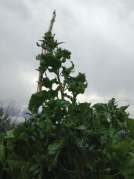 raetia-perilla-fruttescens-fresca