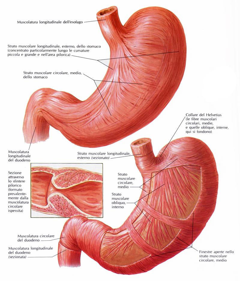 muscolatura_dello_stomaco