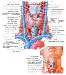 tiroide_in_proiezione_anteriore