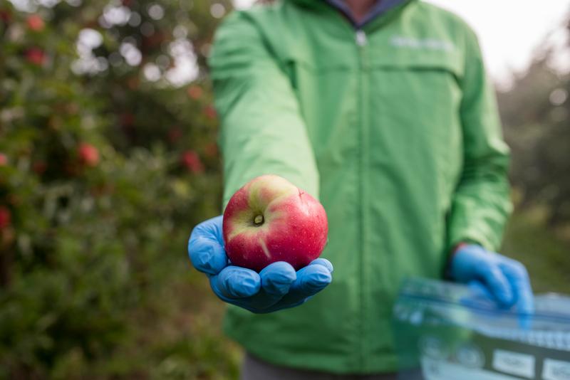 Apple plantation in the Altes Land near Hamburg. Samples will later be tested for pesticides. Greenpeace Aktivist nimmt Apfel- und Blattproben auf einer Apfelplantage im Alten Land. Die Proben werden im Anschluss auf Pestizide untersucht.