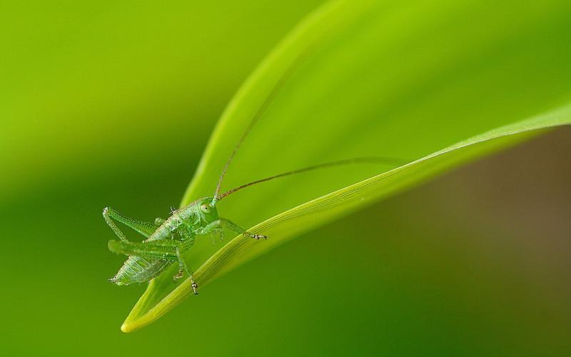 grillo-verde